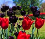 Tulipanes en la plena floración en Albany NY Washington Park Fotografía de archivo libre de regalías