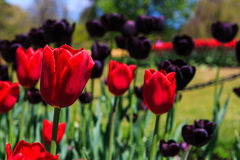 Tulipanes en la plena floración en Albany NY Washington Park Imagenes de archivo