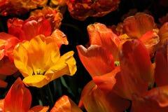 Tulipanes en la plena floración en Albany NY Washington Park Imágenes de archivo libres de regalías