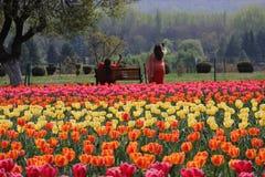 Tulipanes en la plena floración en Tulip Garden en Cachemira en Tulip Garden más grande de Asia Turistas que toman selfies fotos de archivo