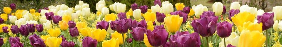 Tulipanes en la primavera Imágenes de archivo libres de regalías