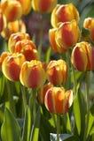 Tulipanes en la puesta del sol Fotografía de archivo