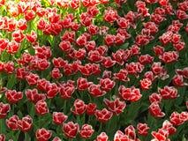 Tulipanes en la sombra foto de archivo