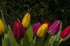 Tulipanes en lluvia Imágenes de archivo libres de regalías