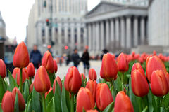 Tulipanes en New York City Imagenes de archivo