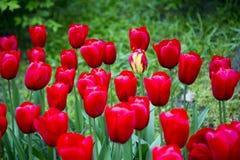 Tulipanes en Países Bajos imagen de archivo libre de regalías