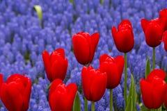 Tulipanes en Países Bajos imágenes de archivo libres de regalías