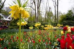 Tulipanes en Países Bajos imagen de archivo