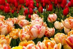 Tulipanes en Países Bajos foto de archivo libre de regalías