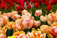 Tulipanes en Países Bajos fotos de archivo libres de regalías