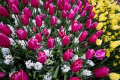 Tulipanes en Países Bajos fotografía de archivo libre de regalías