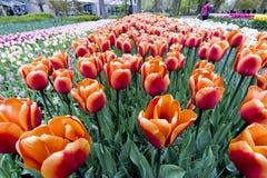Tulipanes en Países Bajos imagenes de archivo