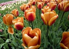 Tulipanes en Países Bajos foto de archivo