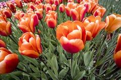 Tulipanes en Países Bajos fotografía de archivo