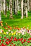 Tulipanes en parque de la primavera Imágenes de archivo libres de regalías