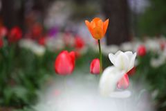 Tulipanes en primavera Fotos de archivo libres de regalías