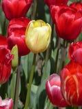 Tulipanes en primer Imágenes de archivo libres de regalías