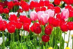 Tulipanes en resorte. Imagen de archivo