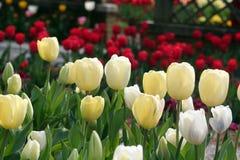 Tulipanes en resorte Fotografía de archivo