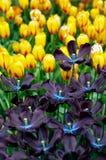 Tulipanes en resorte foto de archivo libre de regalías