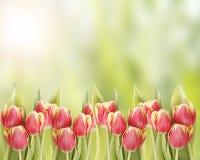 Tulipanes en rojo y amarillo Fotos de archivo