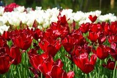 Tulipanes en rojo y blanco foto de archivo