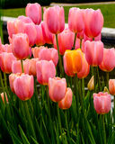Tulipanes en rosa Fotos de archivo libres de regalías