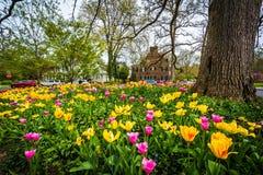 Tulipanes en Sherwood Gardens Park, en Baltimore, Maryland Foto de archivo libre de regalías