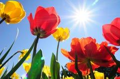 Tulipanes en sol Imagen de archivo libre de regalías