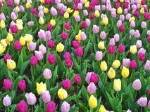 Tulipanes en tiempo de primavera Foto de archivo libre de regalías
