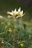 Tulipanes en un césped fotografía de archivo