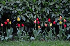 Tulipanes en un contraste oscuro del parque fotografía de archivo