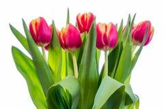 Tulipanes en un fondo blanco imágenes de archivo libres de regalías