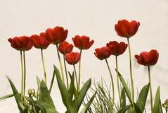 Tulipanes en un fondo de la pared Fotos de archivo libres de regalías