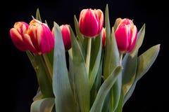 Tulipanes en un fondo negro imagen de archivo