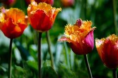 Tulipanes en un jardín de la primavera imagen de archivo libre de regalías