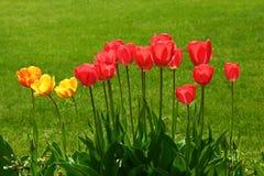 Tulipanes en un prado verde Imagen de archivo