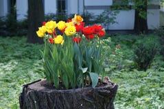 Tulipanes en un tocón de árbol Imagen de archivo libre de regalías