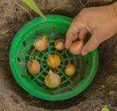 Tulipanes en una cesta para plantar bulbos foto de archivo libre de regalías