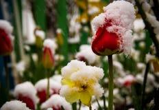 Tulipanes en una nieve Fotografía de archivo