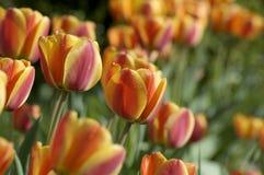 Tulipanes en una tarde del verano Fotografía de archivo