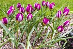 Tulipanes enanos en jardín del jardín de rocalla Imagen de archivo libre de regalías