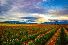 Tulipanes encendidos Foto de archivo libre de regalías