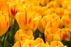 Tulipanes felices amarillos brillantes en Michigan en primavera Imagen de archivo libre de regalías