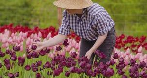 Tulipanes femeninos de Walking While Examining del investigador en el campo almacen de metraje de vídeo