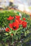 Tulipanes. Fisheye Foto de archivo