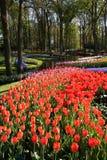 Tulipanes florecientes Fotografía de archivo