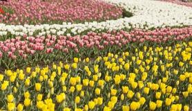 Tulipanes florecientes Fotografía de archivo libre de regalías