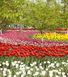 Tulipanes florecientes Foto de archivo libre de regalías
