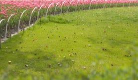 Tulipanes florecientes alrededor del césped Fotografía de archivo libre de regalías